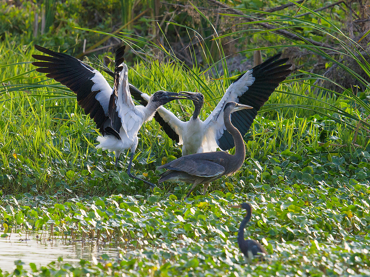 Wood Stork sparring at Gemini Springs Park, 27 Jan. 2017. Next to them is Great Blue Heron Ardea herodias, analogue to the Old World's Grey Heron A. cinerea. In foreground is Tricolored Heron Egretta tricolor.