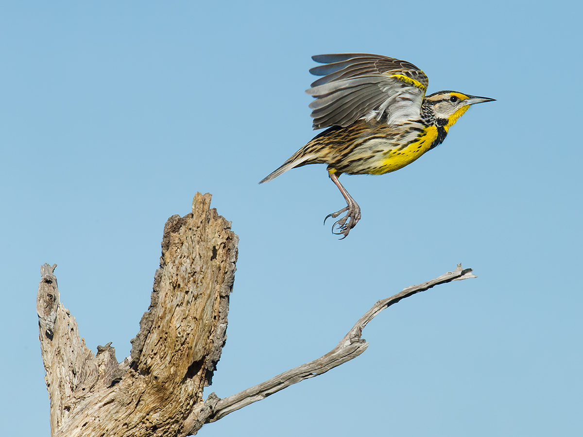 Eastern Meadowlark Sturnella magna, Three Lakes Wildlife Management Area, Osceola County, Florida, 10 February 2017, © 2017 by Craig Brelsford (www.craigbrelsford.com, www.shanghaibirding.com).