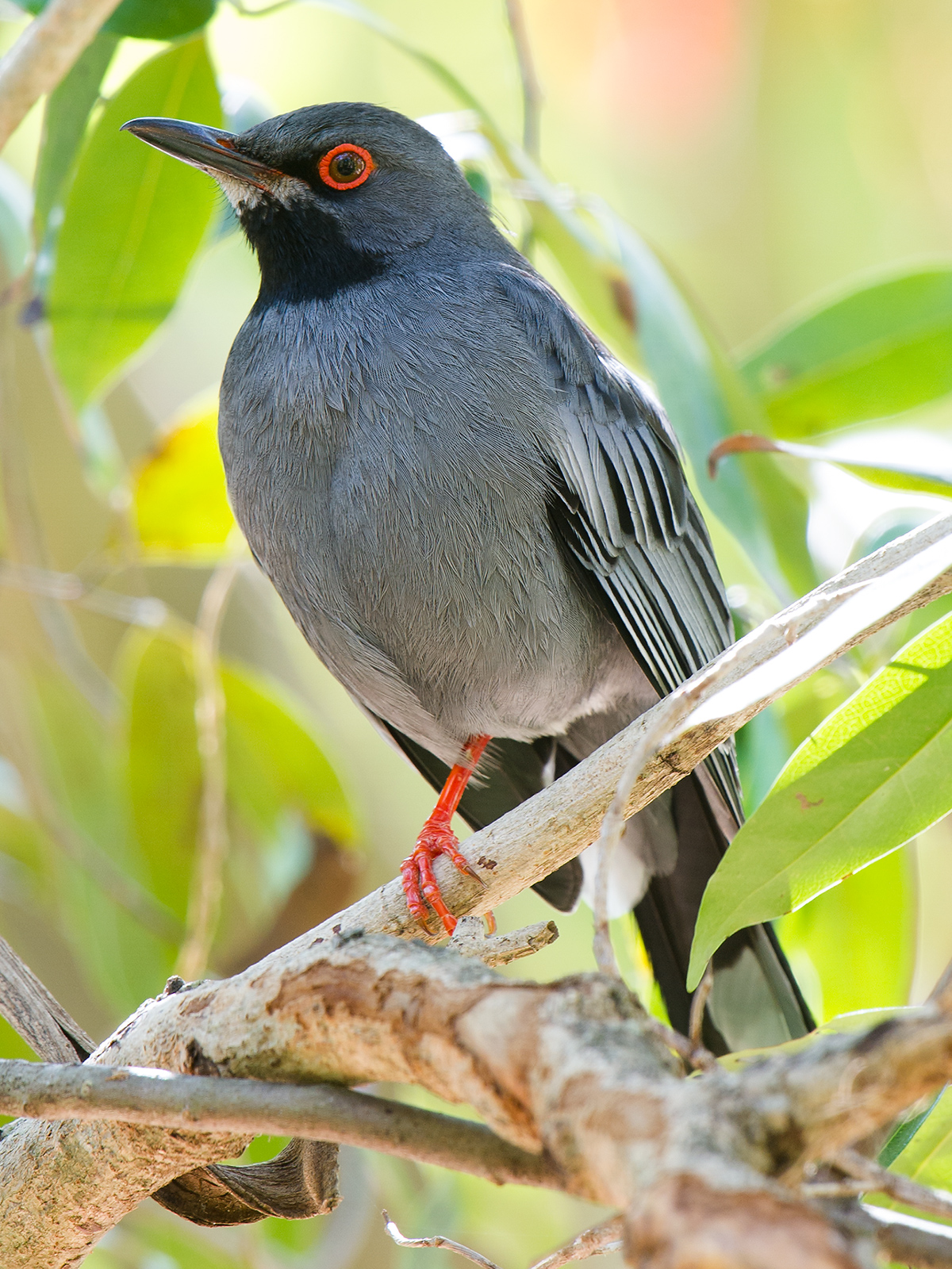 Red-legged Thrush Turdus plumbeus plumbeus, The Retreat, Bahamas National Trust, Nassau, New Providence, Bahamas (25.0638312, -77.3111343). 15 February 2017. © 2017 by Craig Brelsford (www.craigbrelsford.com, www.shanghaibirding.com).