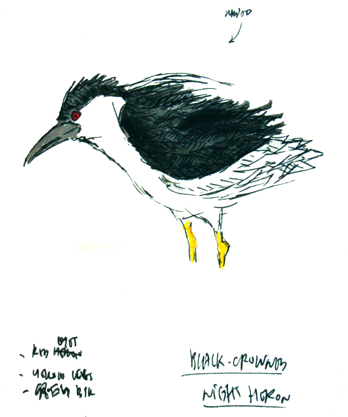 Black-crowned Night Heron Nycticorax nycticorax, aquarelle and black ink. Observed 21 March 2017 at Cape Nanhui. (Louis-Jean Germain)