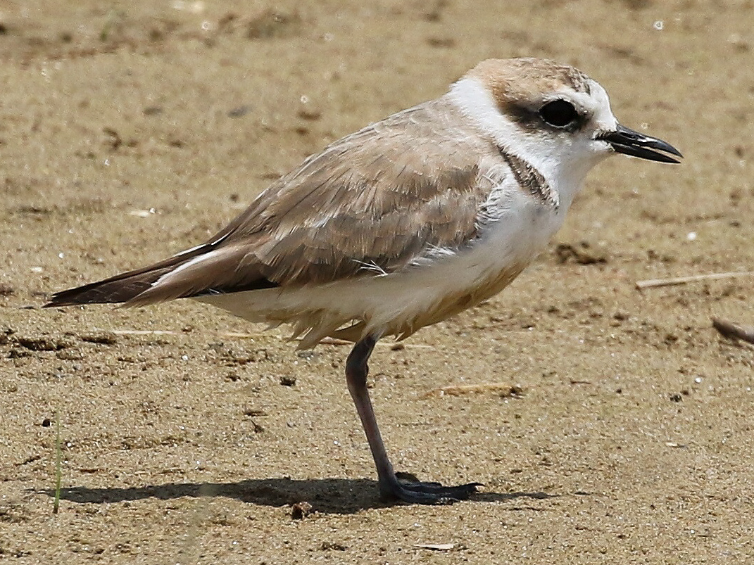 White-faced Plover. (Daniel Bengtsson)