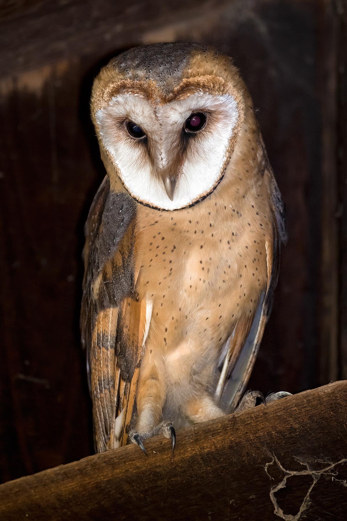 Western Barn Owl Tyto alba (Kai Pflug)