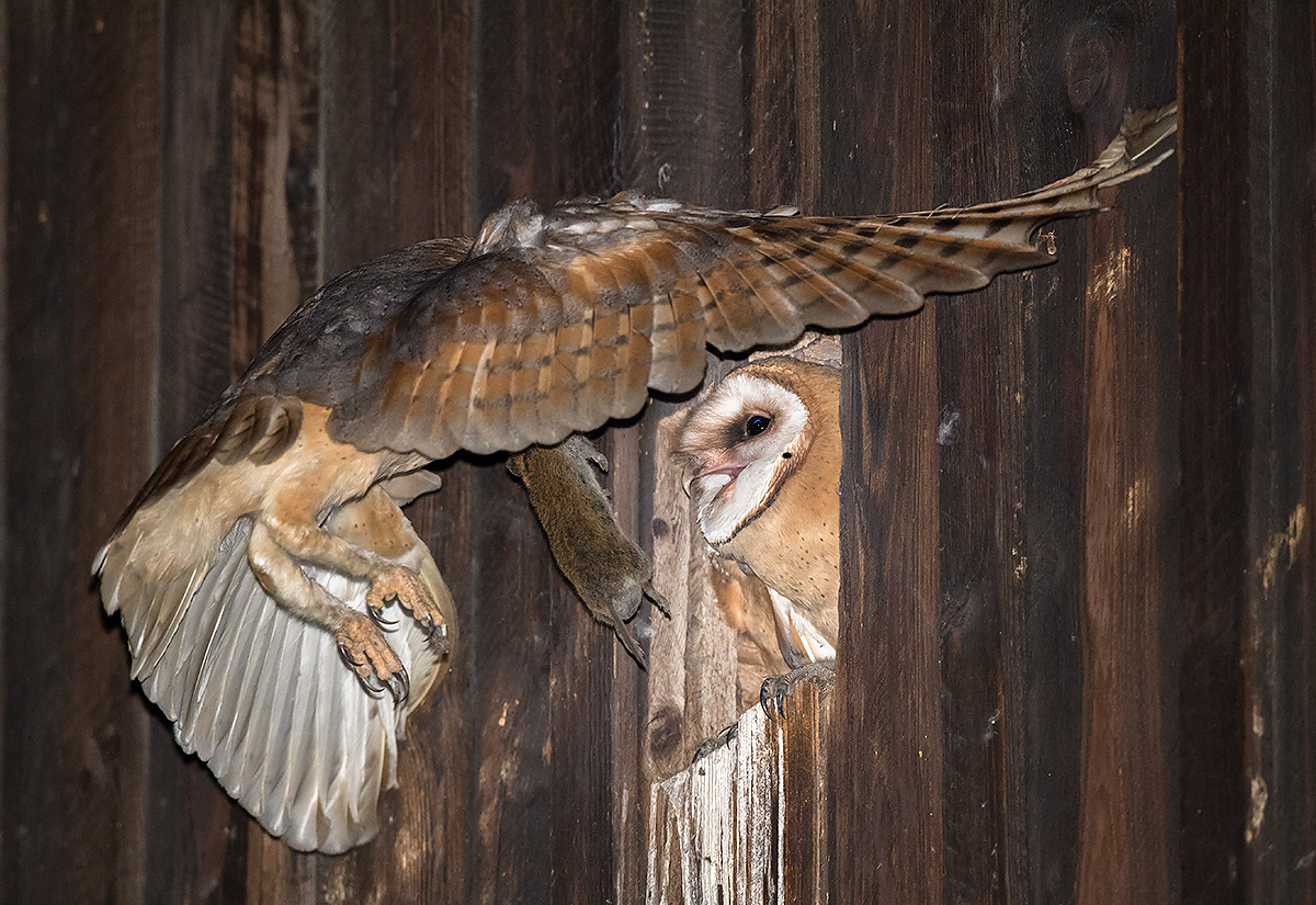 Western Barn Owl with prey. (Kai Pflug)
