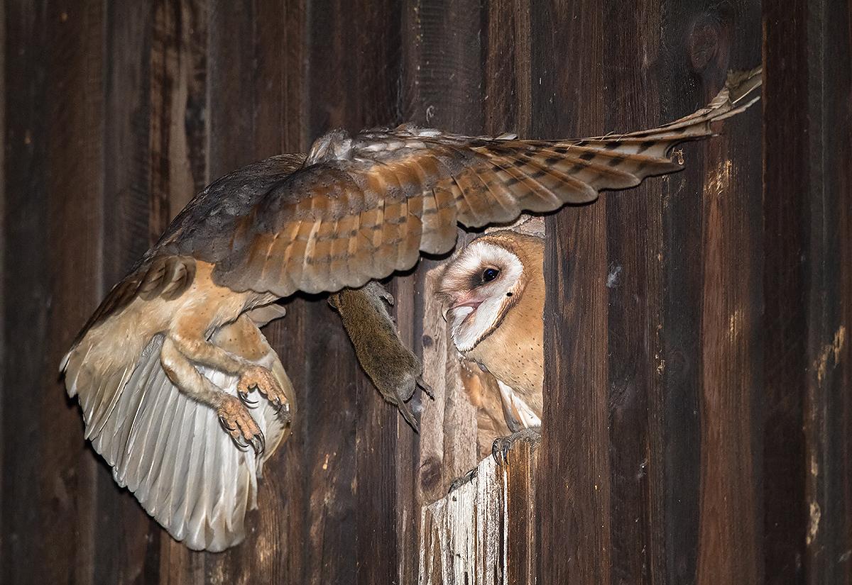 Western Barn Owl with prey. (Kai Pflug)