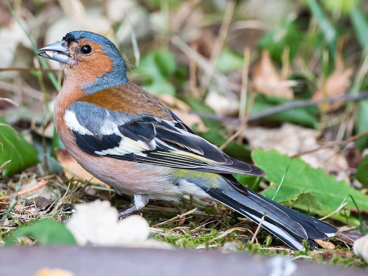 Common Chaffinch Fringilla coelebs, male. (Kai Pflug)