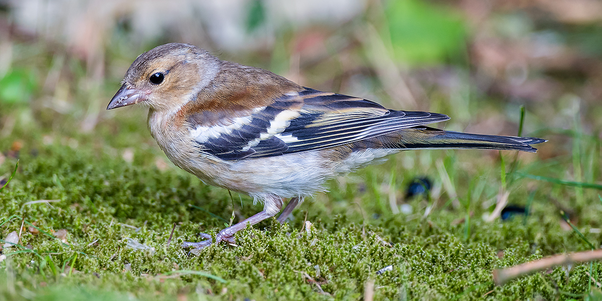Common Chaffinch Fringilla coelebs, female. (Kai Pflug)