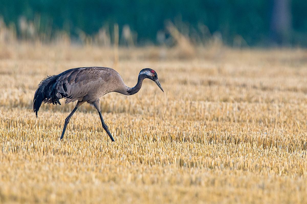 Common Crane Grus grus. (Kai Pflug)