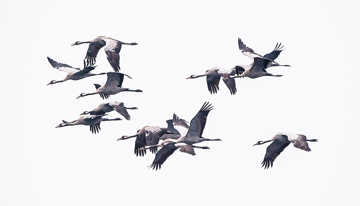 Common Crane, flock in flight. (Kai Pflug)