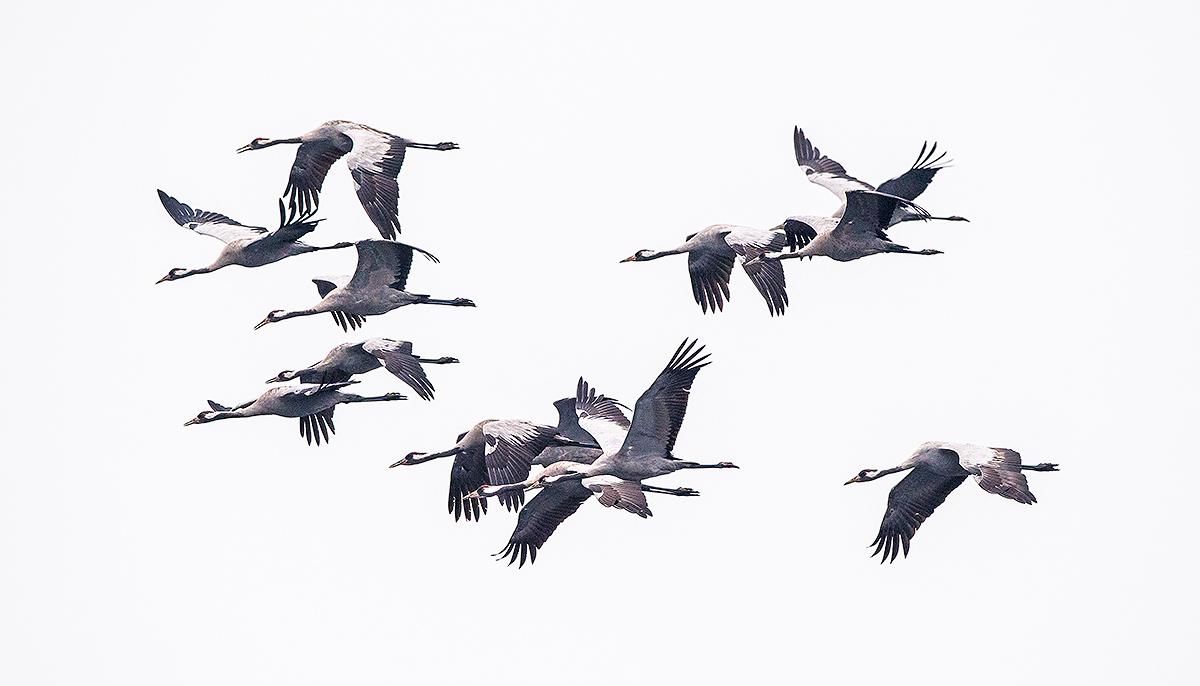 Common Crane, flock in flight. (Kai Pflug)