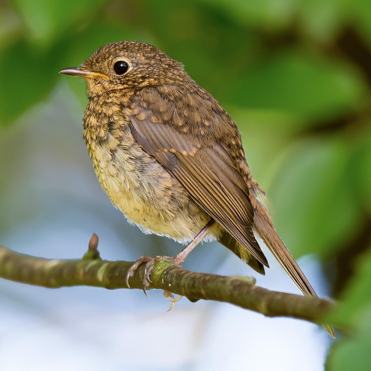 European Robin juvenile. (Kai Pflug)