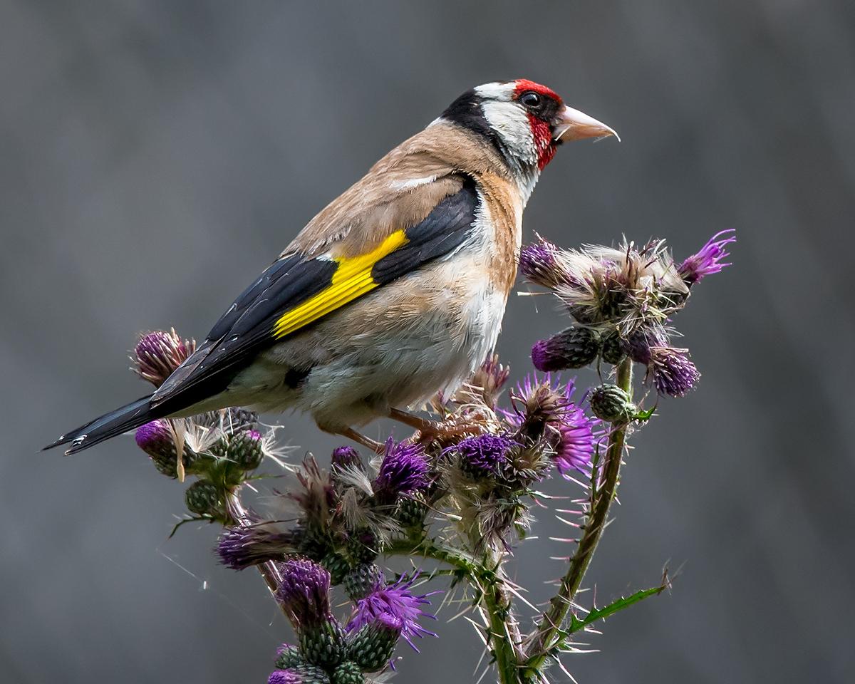European Goldfinch Carduelis carduelis (Kai Pflug)