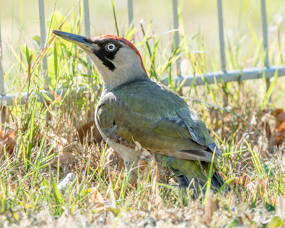 European Green Woodpecker Picus viridis, adult female. (Kai Pflug)