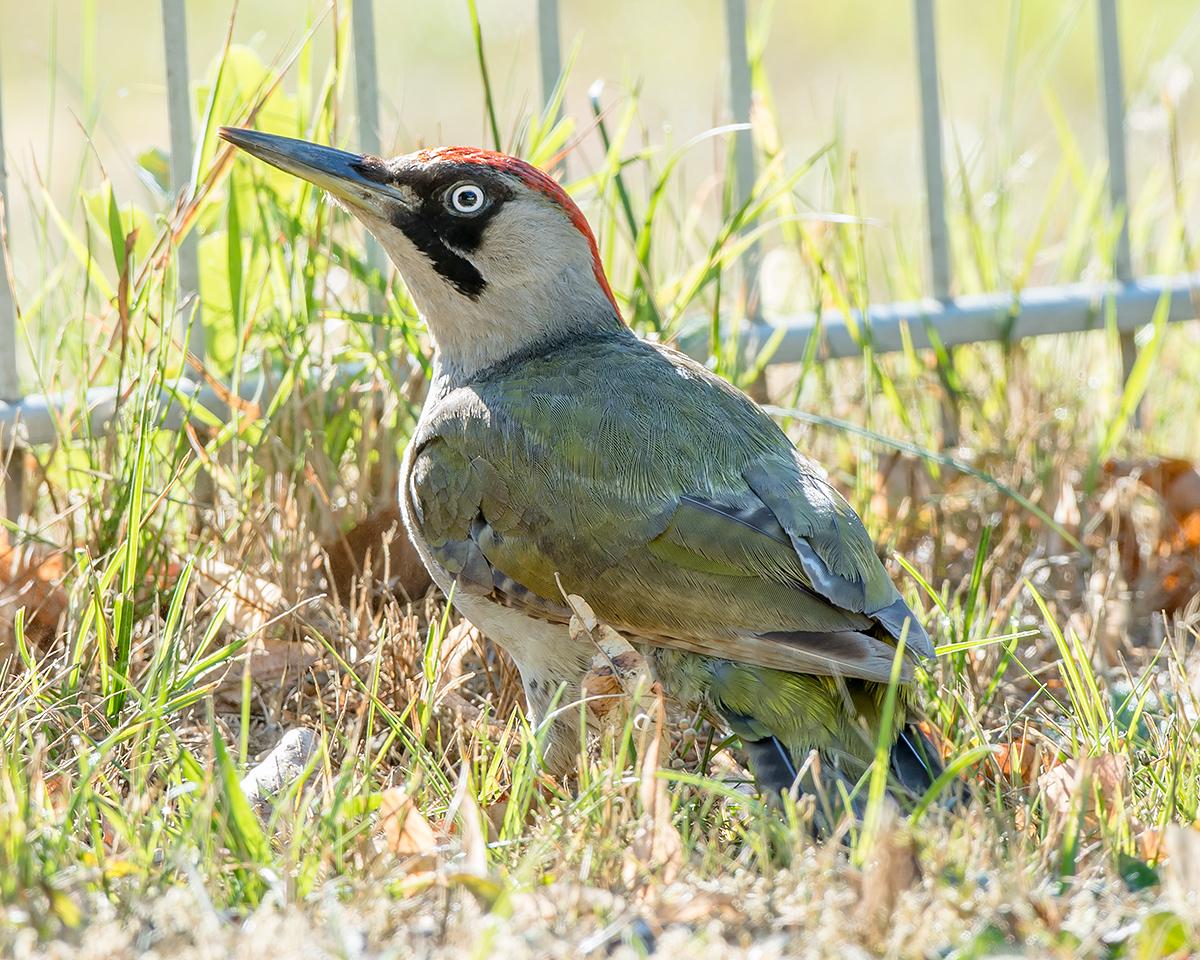 European Green Woodpecker Picus viridis, adult female. (Kai Pflug)