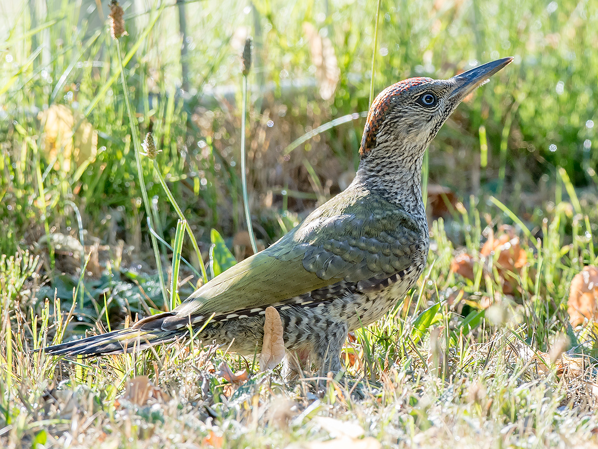 European Green Woodpecker Picus viridis, juvenile female. (Kai Pflug)
