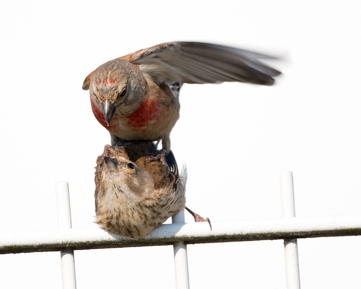 Common Linnet (Kai Pflug)