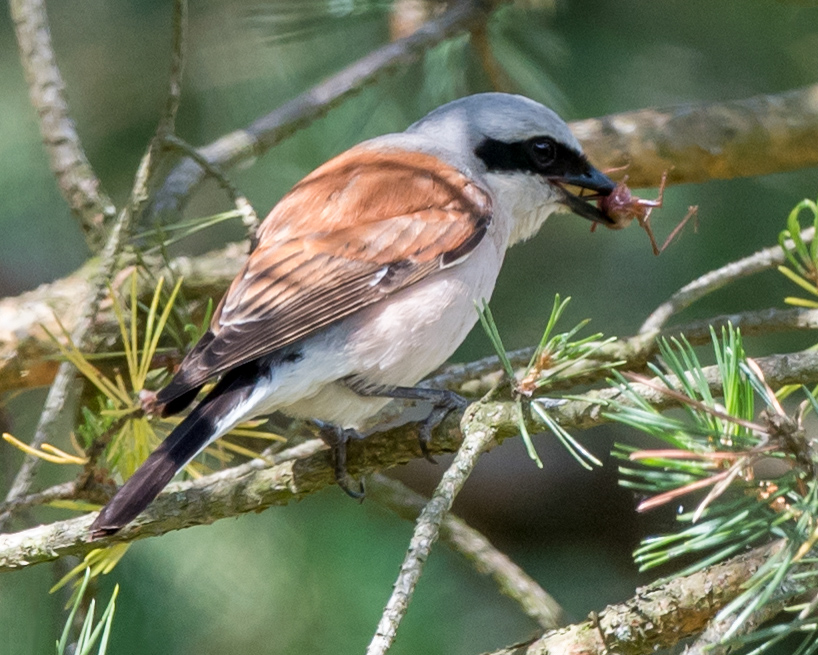 Red-backed Shrike Lanius collurio (Kai Pflug)