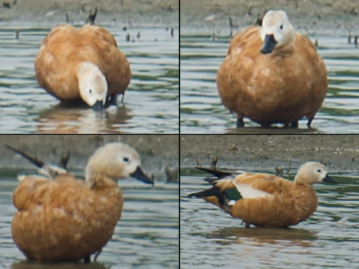 Ruddy Shelduck, Cape Nanhui, 5 Aug. 2017. (Craig Brelsford)