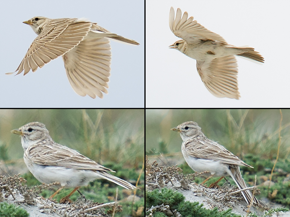 Asian Short-toed Lark Alaudala cheleensis, arid country N of Burqin, Xinjiang, 16 May 2012. (Craig Brelsford)