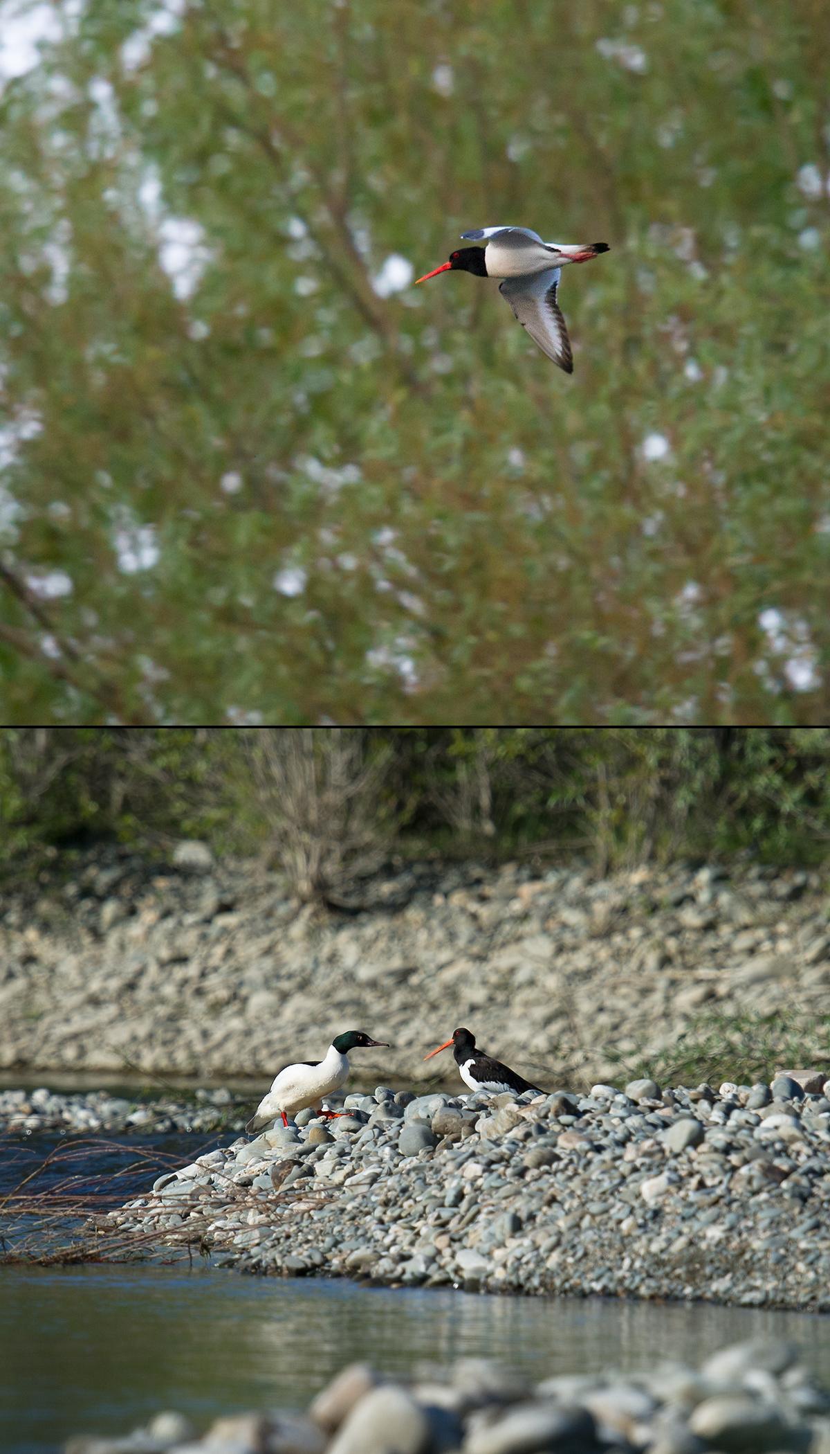 Eurasian Oystercatcher, Kaba River, Xinjiang, 13 May 2012. (Craig Brelsford)
