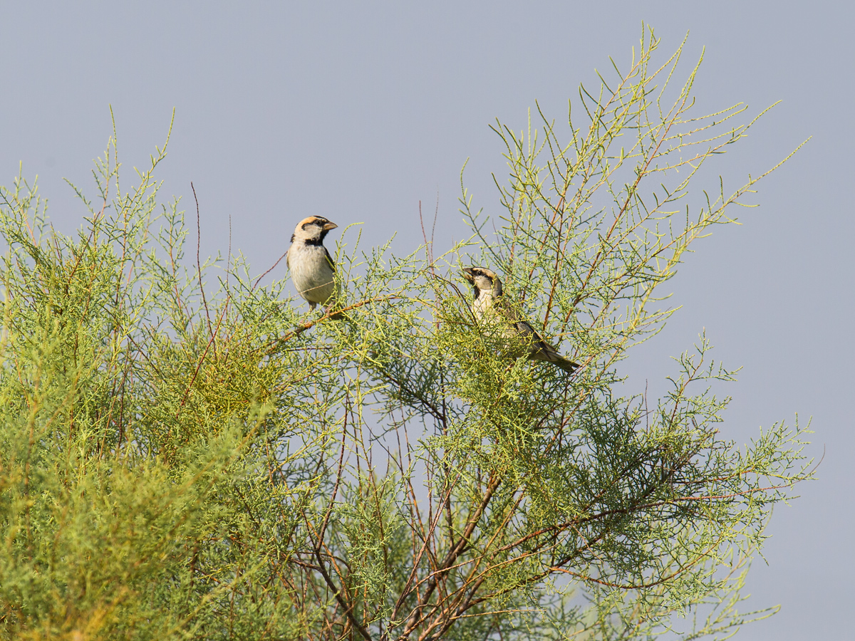 Saxaul Sparrow, Xinjiang, 2017. (Craig Brelsford)
