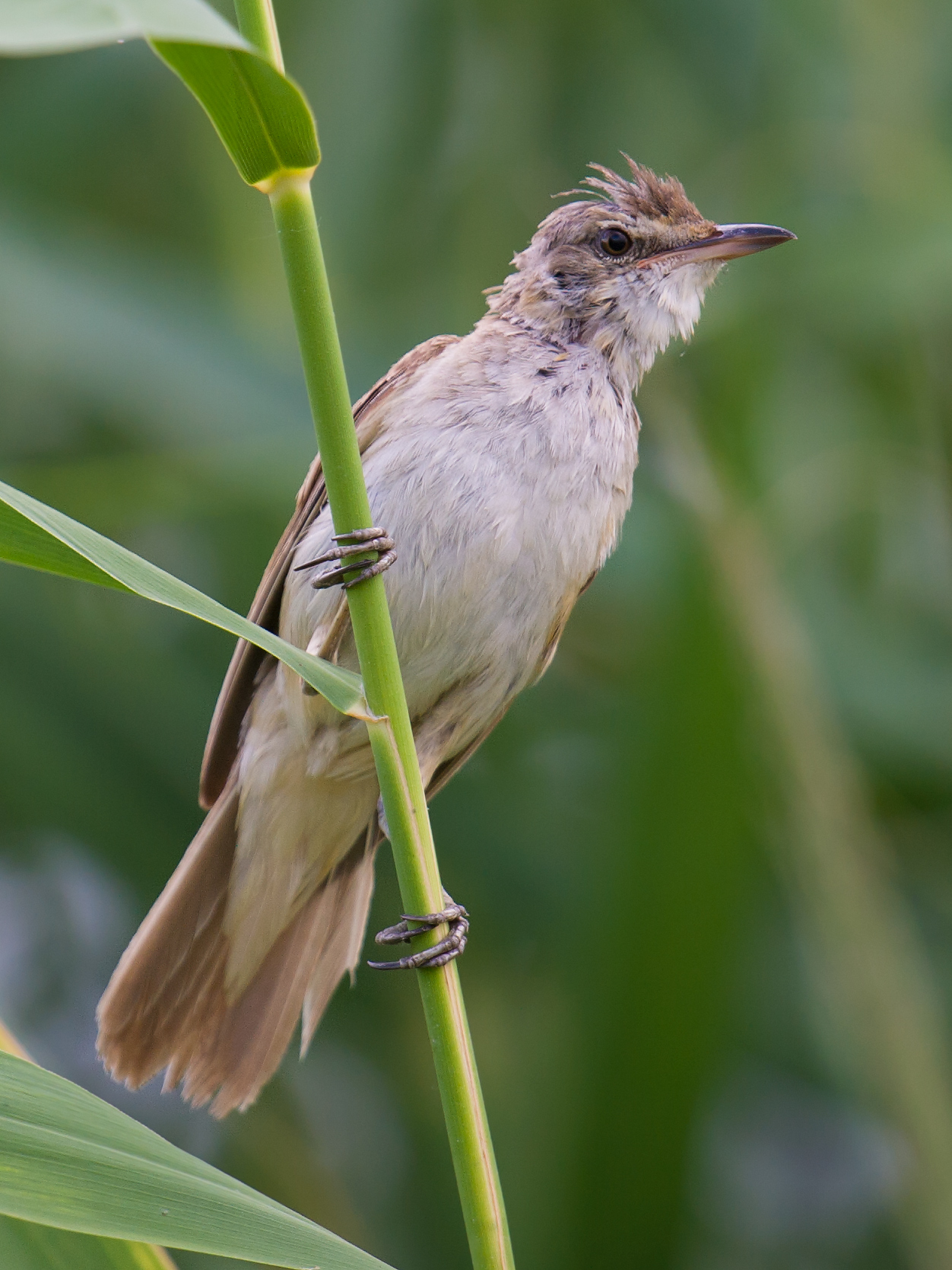 Great Reed Warbler, Xinjiang, 2017. (Craig Brelsford)