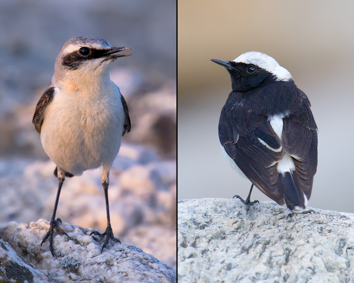 Northern Wheatear (L) and Pied Wheatear, Xinjiang, 17-18 May 2012. (Craig Brelsford)