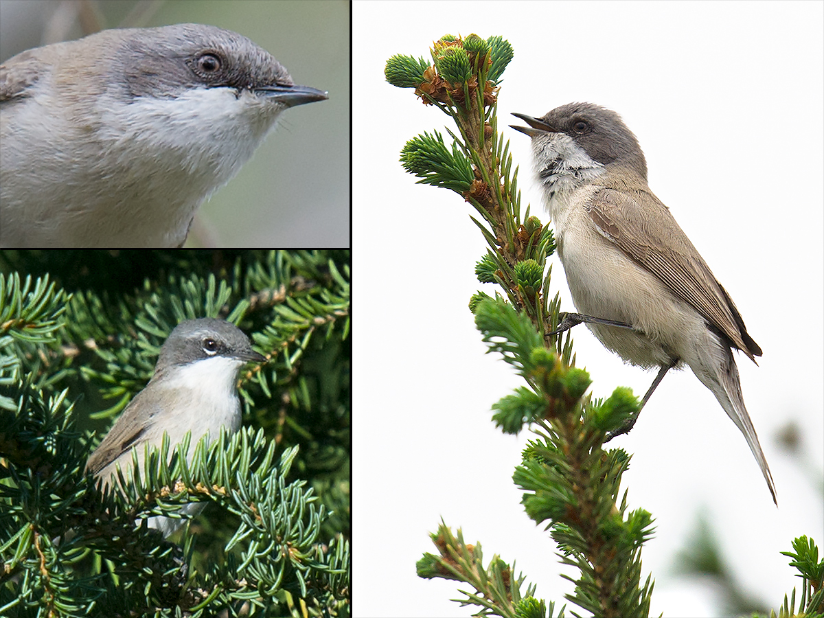 Lesser Whitethroat Sylvia curruca. Top L, R: Burqin, Xinjiang, 18 May 2012. Bottom L: 27 July 2017. Hotel area near main gate to Kanasi Park, Xinjiang (48.504120, 87.125695). (Craig Brelsford)