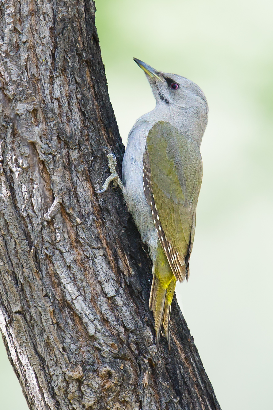 Grey-headed WoodpeckerPicus canus, White Birch Forest Scenic Area, Xinjiang, 9 May 2012. (Craig Brelsford)