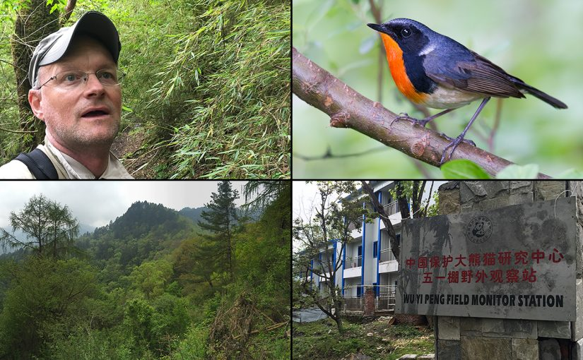 Featured image: Themes from Wuyipeng, 20 May 2017. Clockwise from top L: Craig Brelsford in sea of bamboo; male Firethroat, a species that breeds at Wuyipeng (this photo from Old Erlang Road, Sichuan, 5 June 2014); sign announcing Wuyipeng Field Monitoring Station, since abandoned; rich forest near station. All by Craig Brelsford.