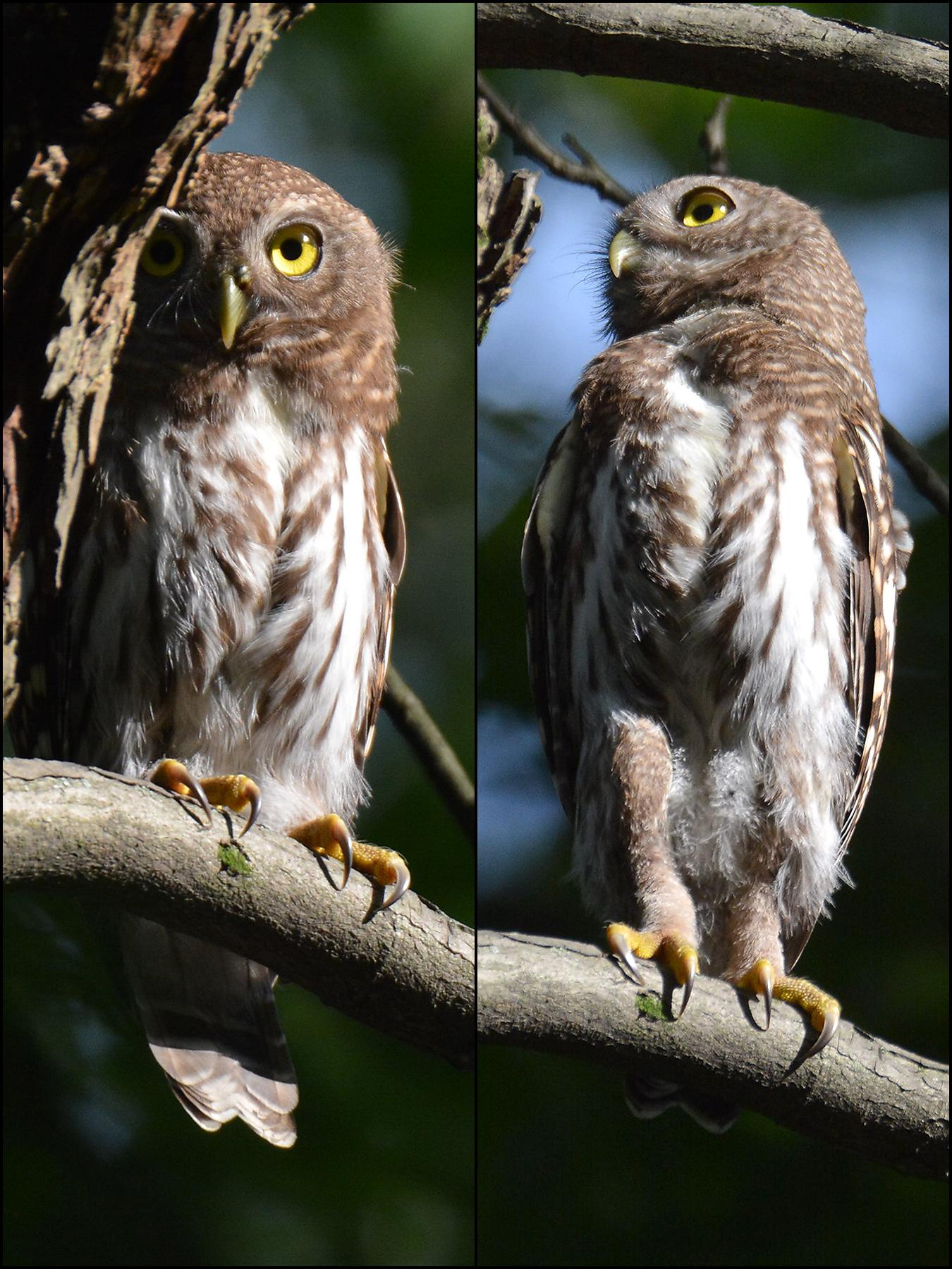 Asian Barred Owlet, Hangzhou Botanitcal Gardens, July 2017. (Komatsu Yasuhiko)