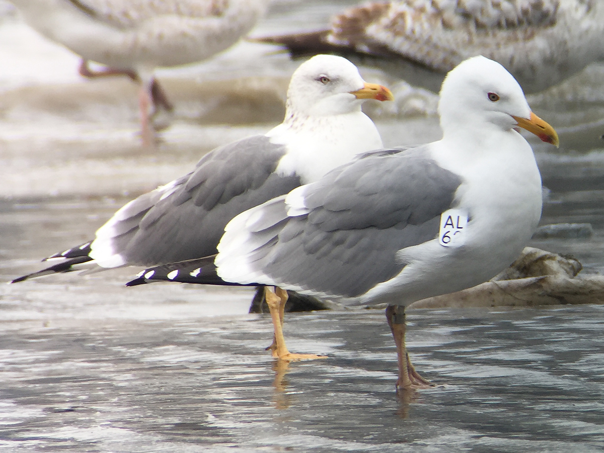 "Mongolian Gull (wing-tagged) and Taimyr Gull (directly behind Mongolian). Moores: 'The adult to the rear has extremely bright yellow legs and a vividly coloured bill, with the red on the gonys unusually bleeding up onto the upper mandible. The bird in the foreground, known by that wing tag to be from the breeding grounds of Mongolian Gull, has much weaker yellow-pink tones to the legs and the red confined to the lower mandible.' Binjiang Park (<a href=""https://www.google.com/maps/place/Binjiang+Park,+2967+Bin+Jiang+Da+Dao,+LuJiaZui,+Pudong+Xinqu,+Shanghai+Shi,+China/@31.236388,121.4936352,17z/data=!4m13!1m7!3m6!1s0x0:0x0!2zMzHCsDE0JzI0LjciTiAxMjHCsDI5JzI2LjYiRQ!3b1!8m2!3d31.240195!4d121.490717!3m4!1s0x35b270fbc62c4551:0x53c55321491a699b!8m2!3d31.2356935!4d121.4973863"" target=""_blank"">31.2356935, 121.4973863</a>), <a href=""https://www.shanghaibirding.com/2017/03/20/loons/"" target=""_blank"">18 March 2017</a>. (Craig Brelsford)"