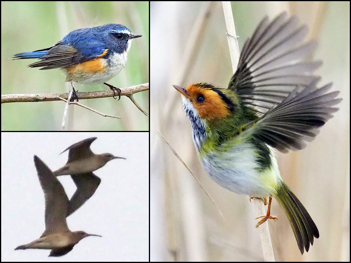 Photos by John MacKinnon, 8 April 2017. Clockwise from top L: Red-flanked Bluetail, Rufous-faced Warbler, Little Curlew.
