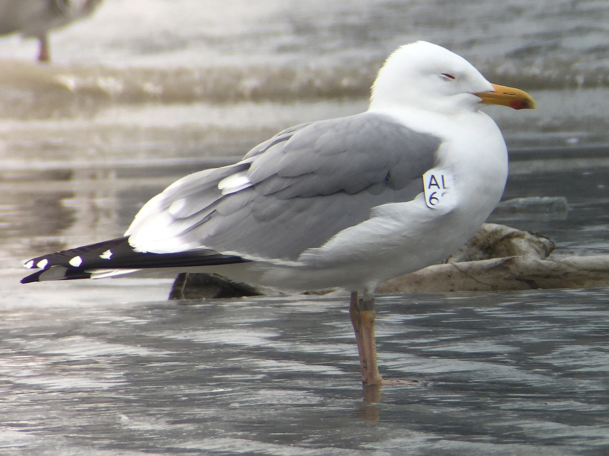 Mongolian Gull, Binjiang Park (31.2356935, 121.4973863), 18 March. This gull was tagged on 27 May 2013 in Mongolia.
