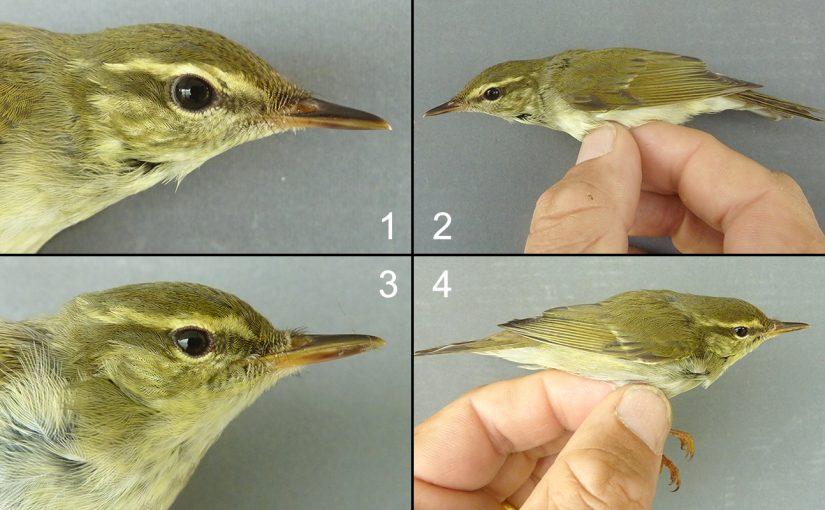 Notes on Kamchatka Leaf Warbler, by Philip D. Round